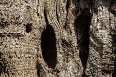 Olive tree trunk Royalty Free Stock Photo