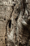 Olive tree trunk Stock Image