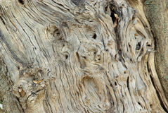 Olive tree trunk Stock Images