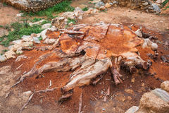 Olive tree trunk, Sparta, Peloponnese, Greece Royalty Free Stock Photography