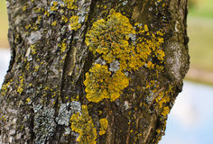 Olive tree trunk with yellow moss fungus. Stock Photos