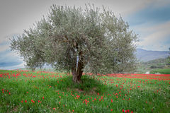 Olive tree and tulips Stock Images