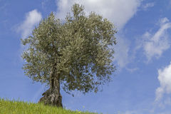 Olive tree Royalty Free Stock Image