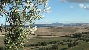 Olive tree in tuscan landscape. Olive tree against a backdrop of the Tuscan Val d'Orcia stock footage