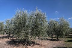 Olive tree in Tuscany Royalty Free Stock Photo