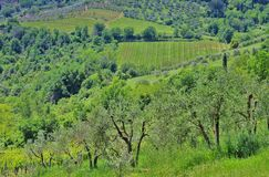 Olive tree in Tuscany Royalty Free Stock Photography