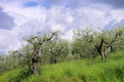 Olive tree in Tuscany Stock Images