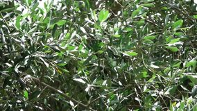 Olive Tree in Tuscany stock video footage