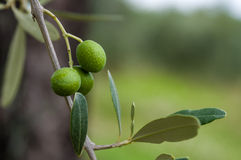 Olive tree in Tuscany Stock Photography
