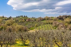 Olive tree in the Tuscany region in Montepulciano Royalty Free Stock Photo