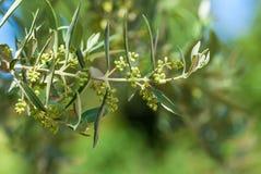 Olive tree royalty free stock photo