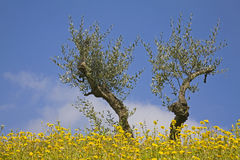 Olive tree twin Royalty Free Stock Photos