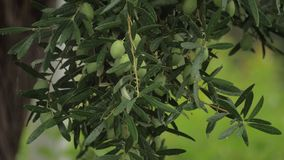 Olive tree under the rain. Olive tree branch with many unripe fruits on rainy day. Wet plant with drops falling from the leaves. Agriculture and farming stock footage