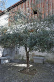 Olive Tree Urban. Olive tree in the yard of a rural housing Royalty Free Stock Images