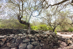 Olive Tree. Very old olive tree at the Village of Serra Orrios at Sardinia, Italy Stock Image