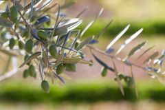 Olive Tree Among the Vines. Closeup of olives on an olive tree with blurred out grape vines in the background.  Taken in the Douro Valley in Portugal Stock Photography