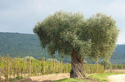 Olive tree and vineyard Stock Image