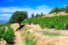 Olive-tree and vineyards Royalty Free Stock Image