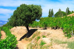 Olive-tree and vineyards Stock Photos