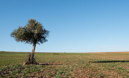 Olive tree on the wheat field Stock Photography