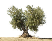 Olive tree white  Royalty Free Stock Photo