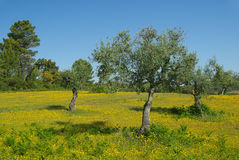 Olive tree wildflower meadow Royalty Free Stock Images
