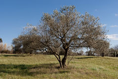 Sardinia.Olive tree in winter royalty free stock photo