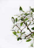 Olive tree in winter Stock Photos