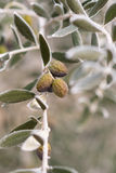 Olive tree in winter Royalty Free Stock Photography