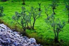 Olive Tree Woodland Royalty Free Stock Photos