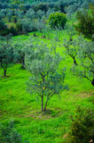 Olive Tree Woodland Stock Photos