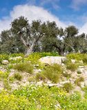 Olive trees 011 Royalty Free Stock Image