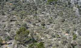Olive trees. Olive tree plantation in mountain, Mallorca Royalty Free Stock Image