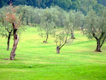 Olive trees Stock Image