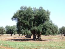 Olive trees. Old olive trees in august stock photo