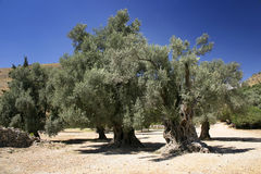 Olive Trees. A stand of old Olive trees stock images