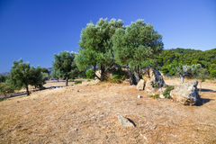 Olive trees. Growing in ruins of Sanctuary of Poseidon, Poros, Greece Royalty Free Stock Photos