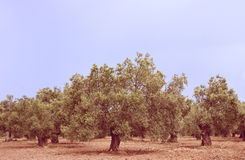 Olive Trees Stock Photo