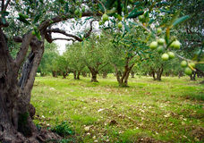 Free Olive Trees Royalty Free Stock Image - 16486896