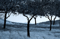 Olive Trees. Cyprus Royalty Free Stock Image