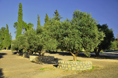 Olive trees. Royalty Free Stock Image