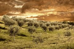 Olive trees Royalty Free Stock Photos