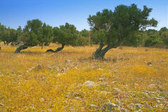 Olive trees. Exposed to strong wind whole year result trees in wierd shapes royalty free stock photography