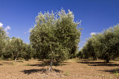 Olive trees. Olive Tree in a rural landscape Royalty Free Stock Photo