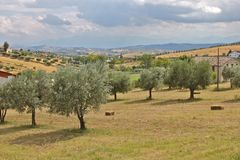 olive trees Royaltyfria Bilder