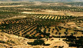 Olive trees. On the Tunisia desert stock photos