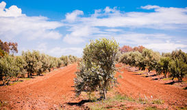 olive trees Royaltyfria Foton