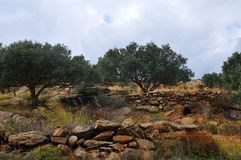 Olive trees. The landscape of Crete Greece Stock Photos