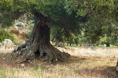 Olive trees. An old olive tree in Crete Greece Royalty Free Stock Image