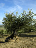 Olive trees Royalty Free Stock Images